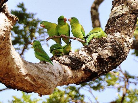 Ricon de la Vieja Papageien