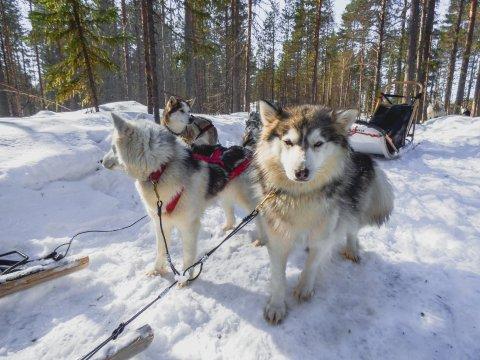 Hundeschlittenfahrt bei der Saija Lodge