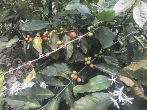 Santo Antao - Kaffeepflanze
