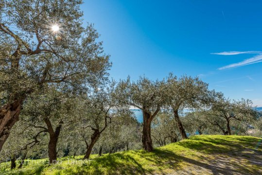 Olivenaine in der Lunigiana
