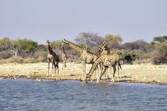 Giraffen beim Wassertrinken Giraffen trinken 2