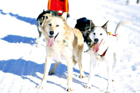 Alaskan Huskys Schweden