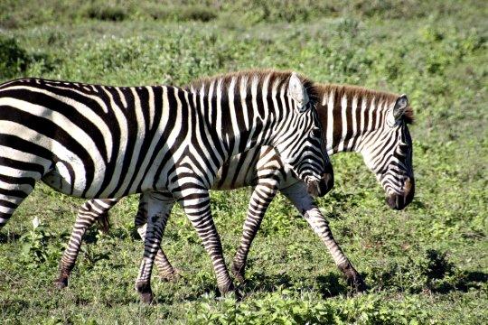 Zebras_7