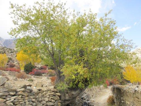 Pfirsichbaum in Mustang