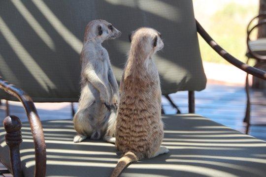 Namibia-Kalahari-Red-Dunes-Lodge-Erdmännchen