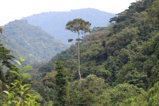 Uganda-Bwindi-Impenetrable-Forest-Urwald