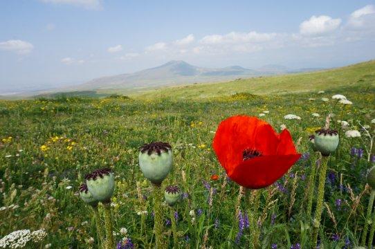 Blumenwiese im Geghama-Gebirge
