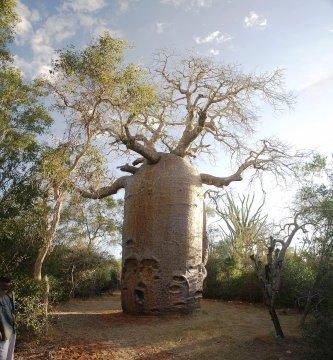Baobab bei Ifaty_2