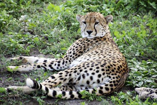 Gepard Serengeti_2