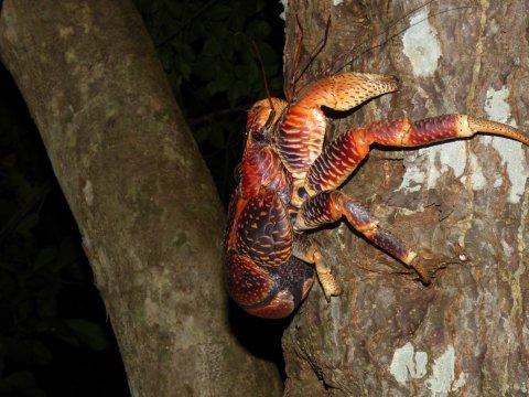 Tansania-Sansibar-Riesenkrabbe-auf-dem-Weg-ins-Glück