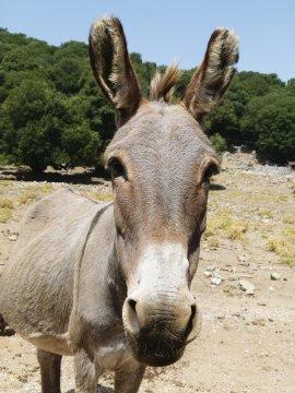 Sardinien Esel
