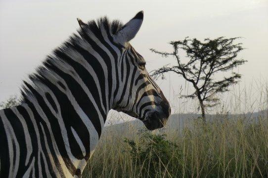 Zebra in Umfolozi