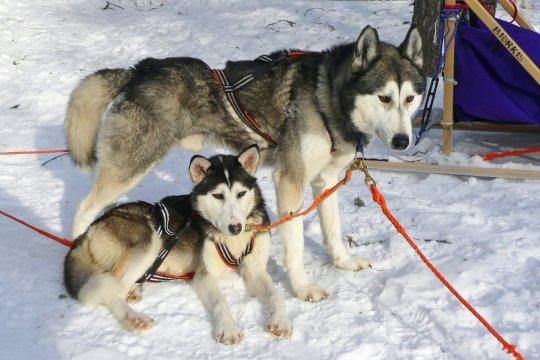 Huskies auf der Tour