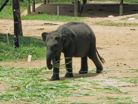 Udawalawe kleiner Elefant Aufzuchtstation_2