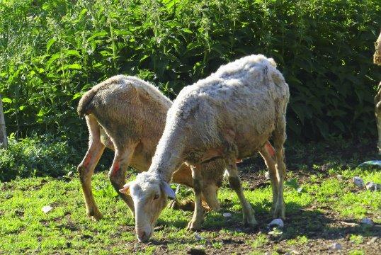 Frisch geschorene Schafe_2