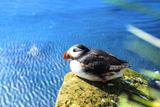 Papageientaucher auf Island