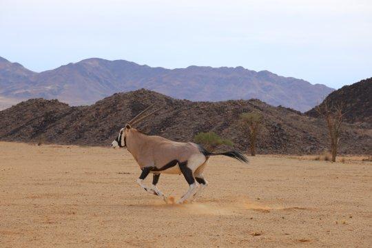 Gemsbock at Greenfire Desert Camp