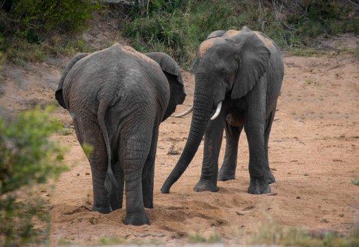 Südafrika-Krüger-Nationalpark-Junge-Elefanten