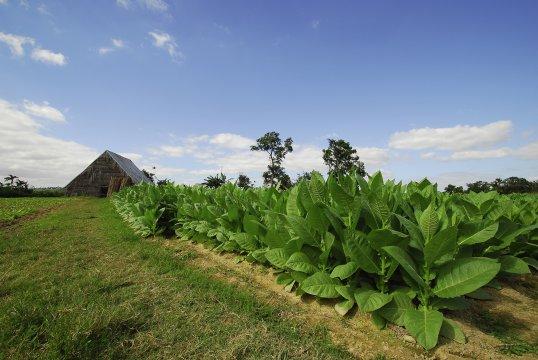 Tabakpflanzung bei Vinales auf Kuba