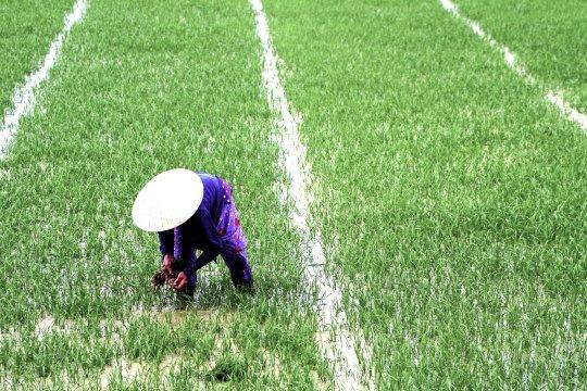 Arbeiten auf den Reisfeldern