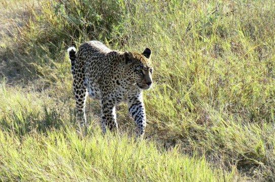Leopard_2