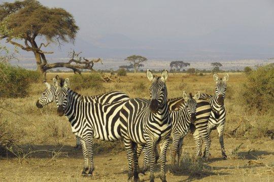 Zebras im Amboseli Nationalpark