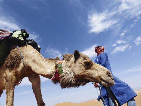 Kamel Beduine Marokko_2