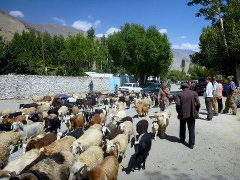Schafherde in Yamg