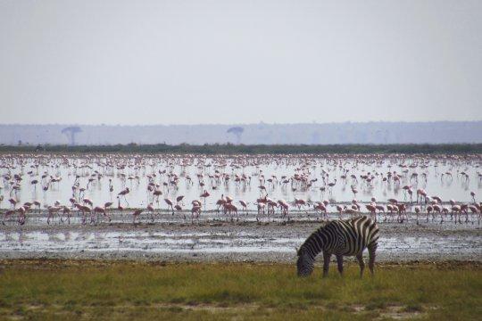 Zebra vor tausenden Flamingos