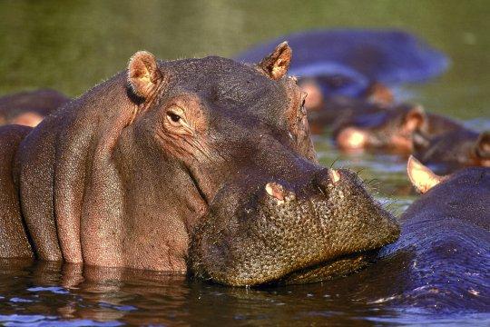 Hippos_2