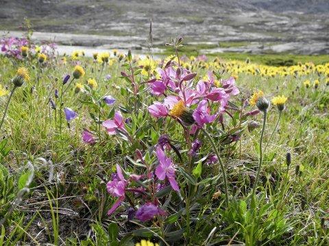 Ostgroenland Blumenwiese_2