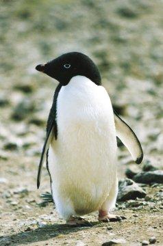 Maguellan-Pinguin