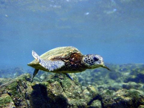Punaluu Big Island Schildkroete unter Wasser