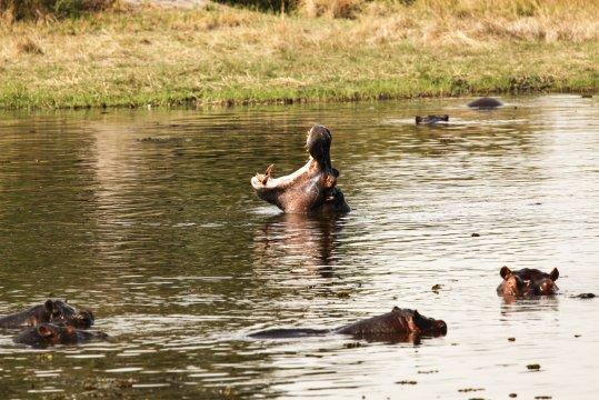 Flusspferd beim Gaehnen_2