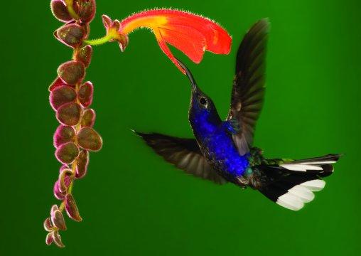 Costa-Rica-Monteverde-Colibri-an-Blume