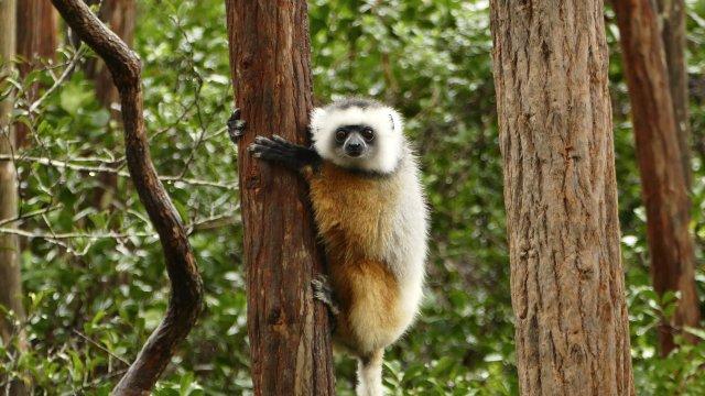 Lemur_3