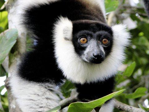 Perinet, Vari Lemur