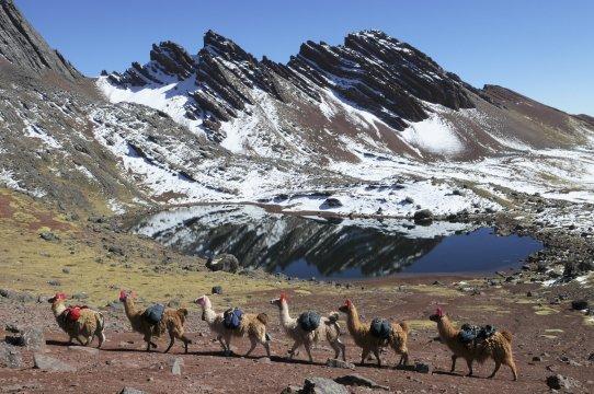 Alpakas mit Gepaeck und Gebirgssee
