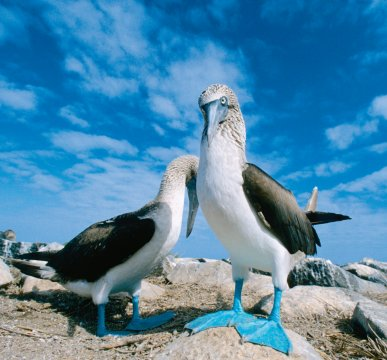 AMS_BSK_Galapagos_bluefoted_bubie_1949_p2