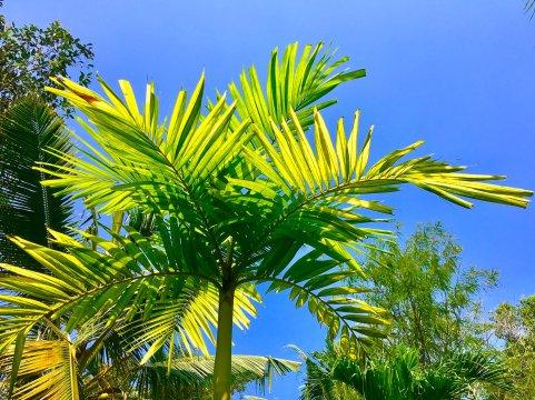 Palme in Kerala