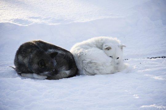 Schlafende Huskies im Schnee