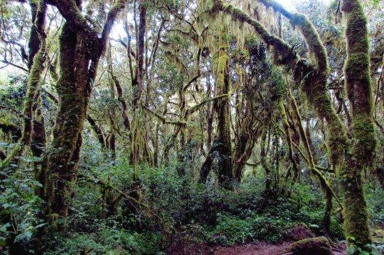 Dichter Regenwald am Kili