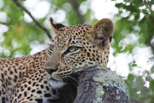 Leopard mit Kopf auf Baumstamm