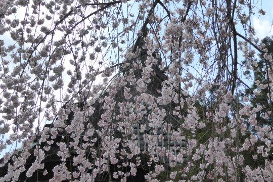 Tempel in Yoshino mit Kirschblüten
