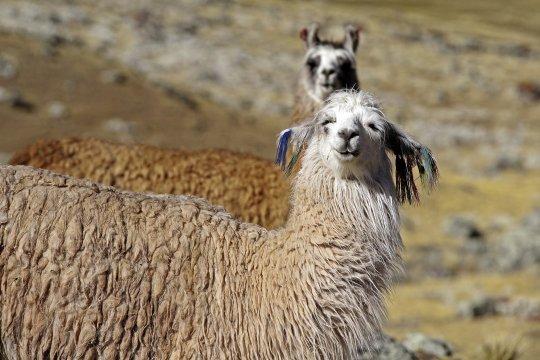 Zottelige Lamas_2