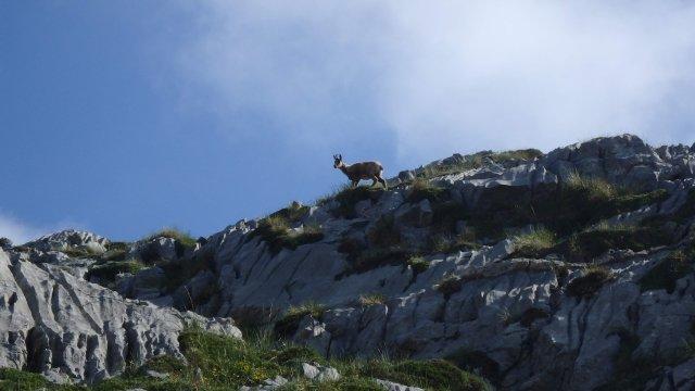 Ziege in den Picos de Europa