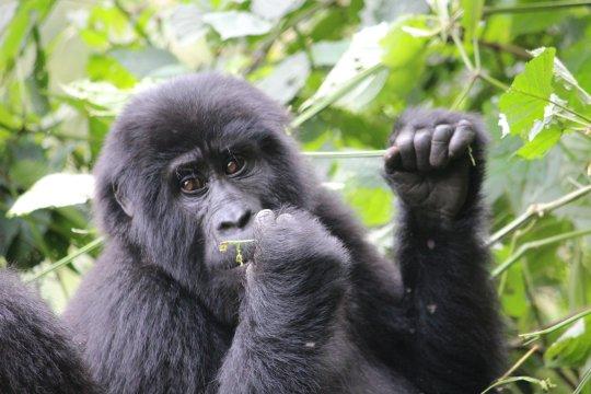 Uganda-Gorilla-im-Bwindi-National-Park-am-Essen