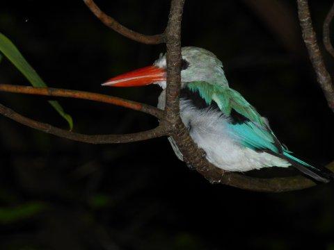 Schlafender Vogel auf Chumbe Island