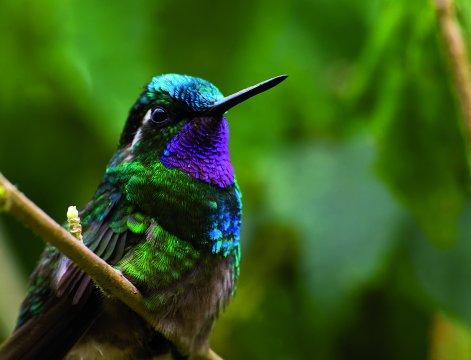 Costa-Rica-Monteverde-Colibri-sitzt