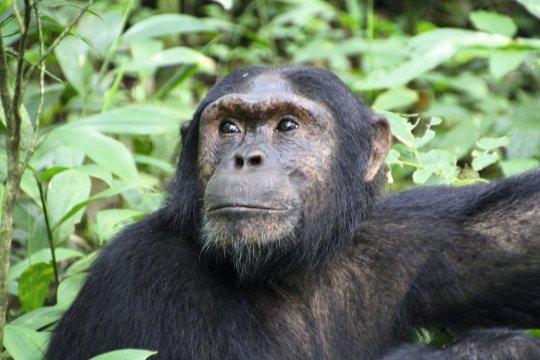Schimpanse IMG 2912